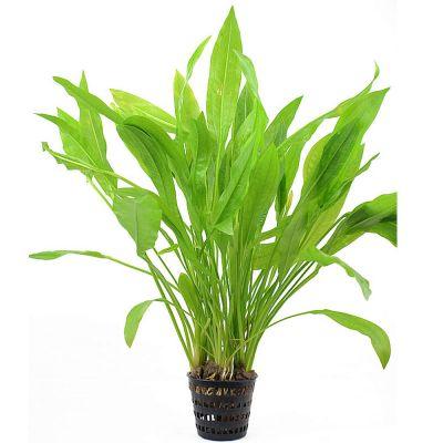 zooplants xl plantes d 39 arri re plan pour aquarium zooplus. Black Bedroom Furniture Sets. Home Design Ideas