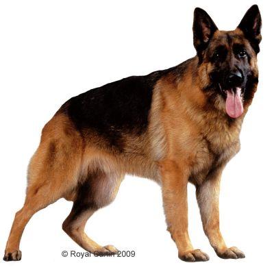 royal canin german shepherd adult croquettes pour chien zooplus. Black Bedroom Furniture Sets. Home Design Ideas