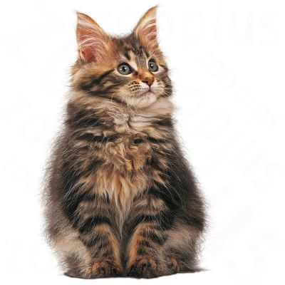 royal canin kitten maine coon croquettes pour chaton. Black Bedroom Furniture Sets. Home Design Ideas