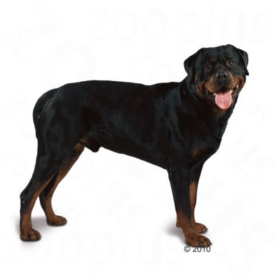 Royal Canin Rottweiler Adult | Free P&P on orders £29+ at